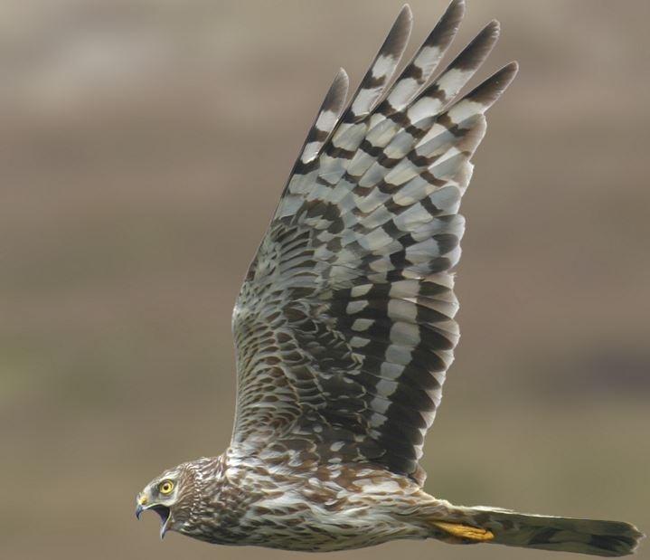 Female Hen harrier over grouse moorland