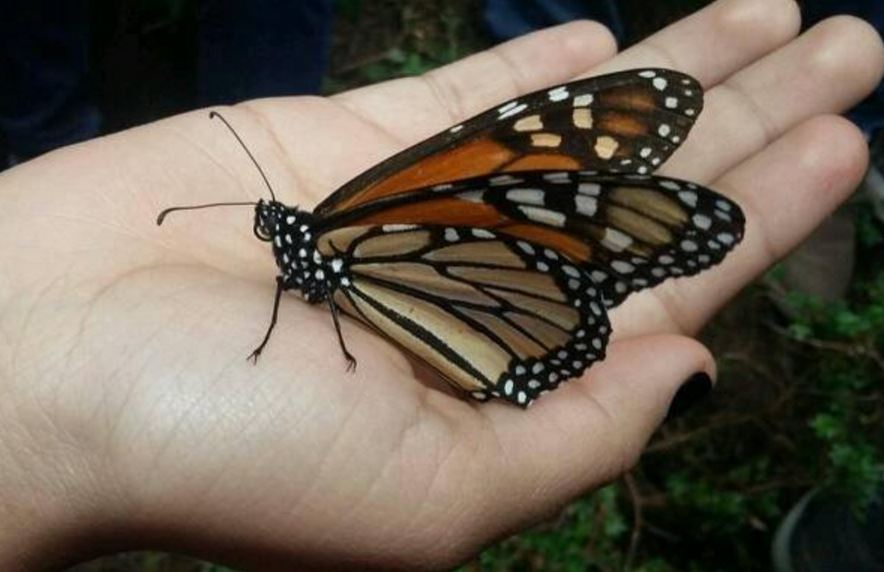 Monarch butterfly on a persons hand