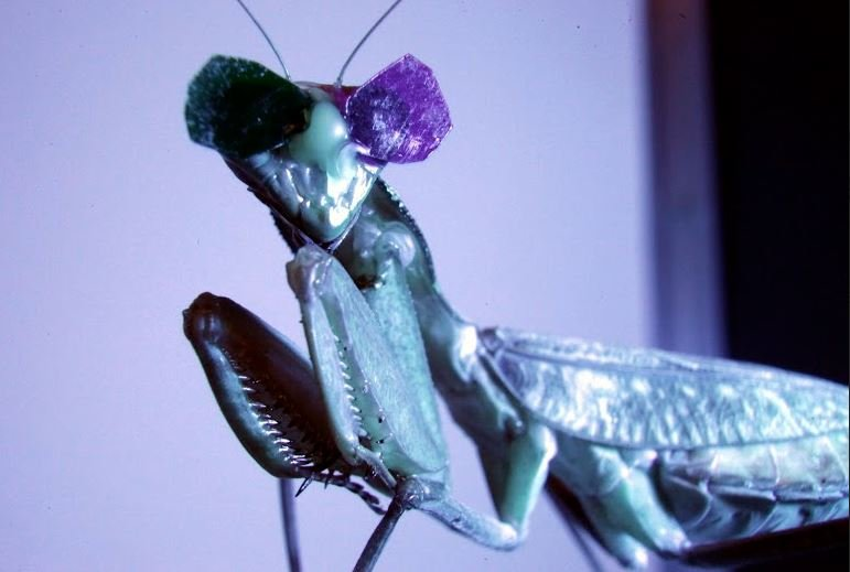 Prying mantis wearing 3D specs in 3D vision experiment