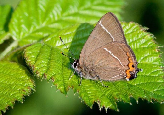 UK rare butterfly White Letter Hairstreak