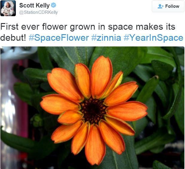Zinnia flower in full bloom in space