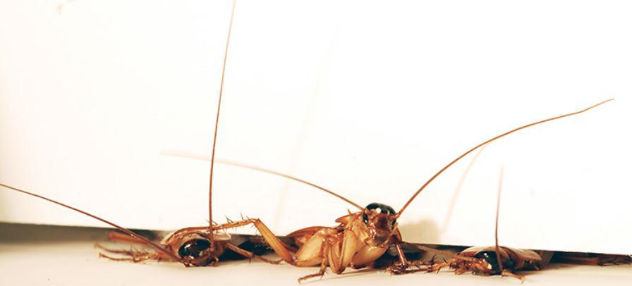 Cockroaches squeezing through a narrow gap