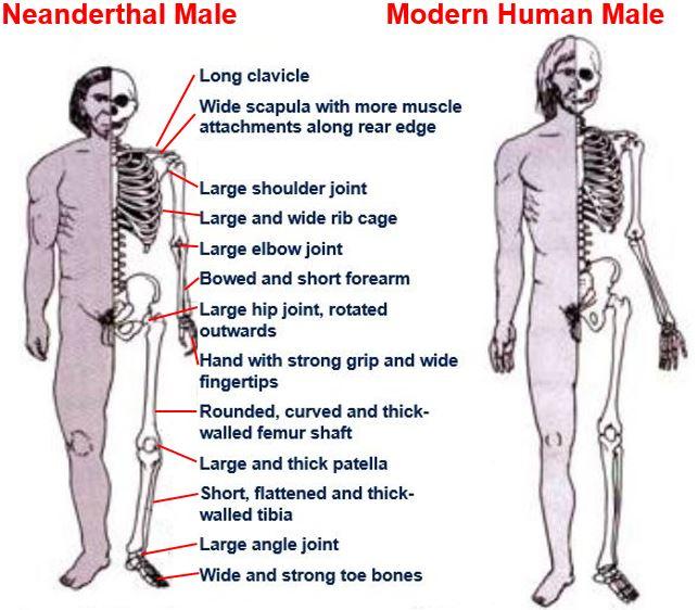 Neanderthal Male vs Modern Human Male