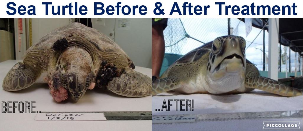 Sea Turtle with tumours before and after