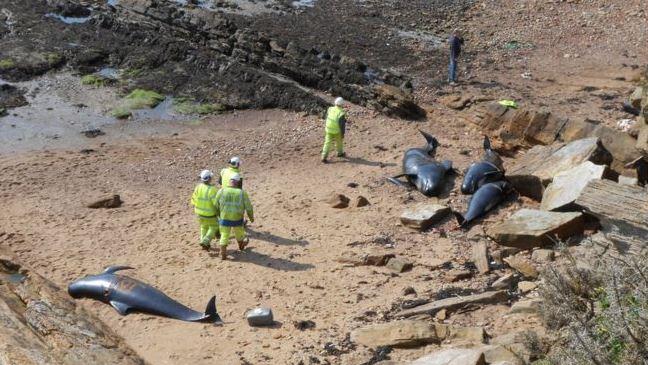 Whale stranding in Fife in 2012