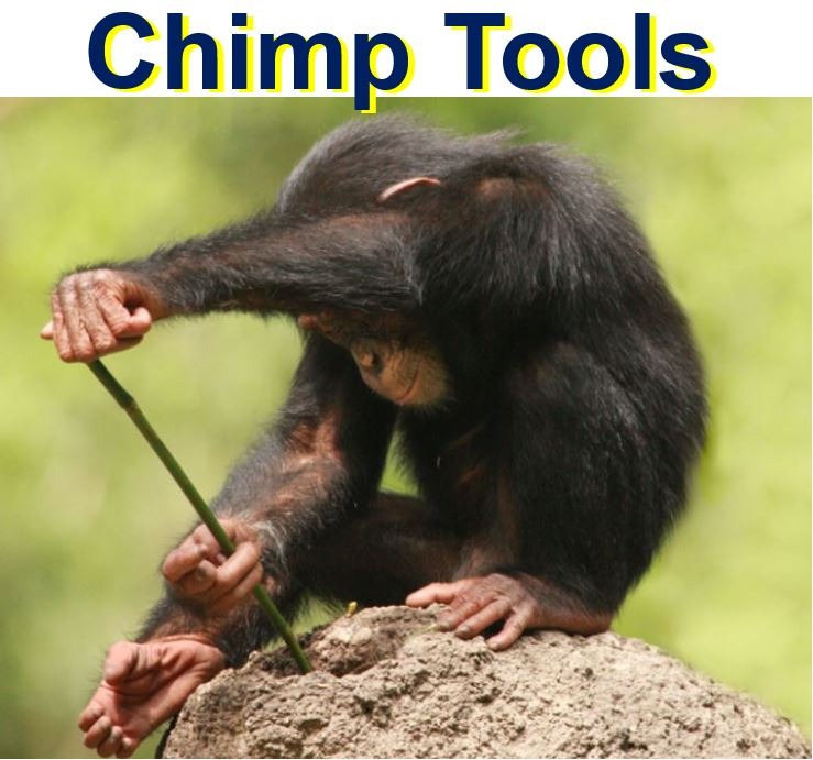 Chimpanzee tools