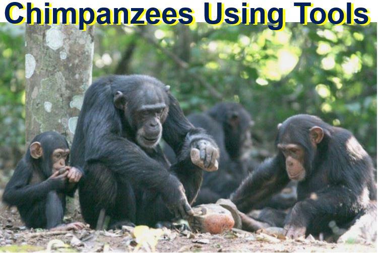 Chimpanzees using tools