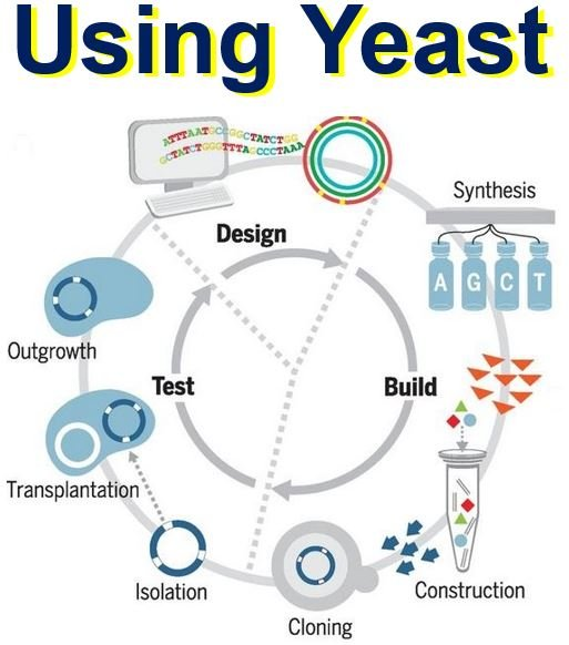 Design build test cycle using yeast