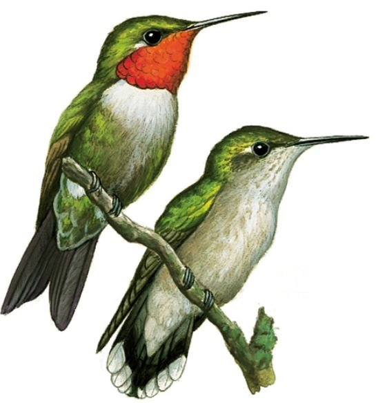 Male and female ruby throated hummingbirds