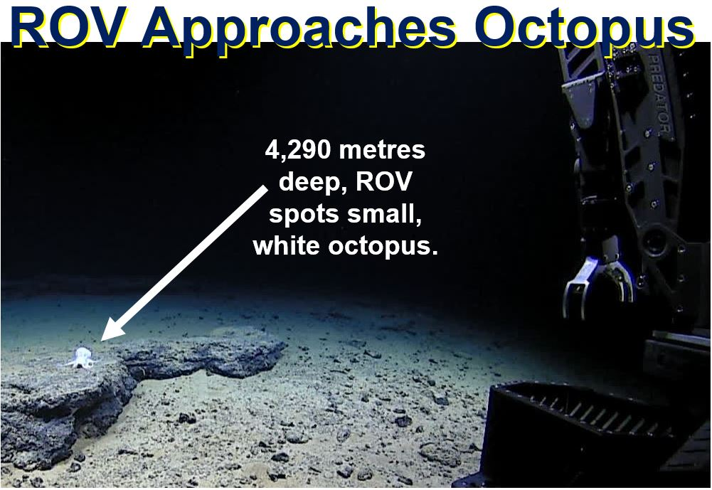 ROV approaches small octopus