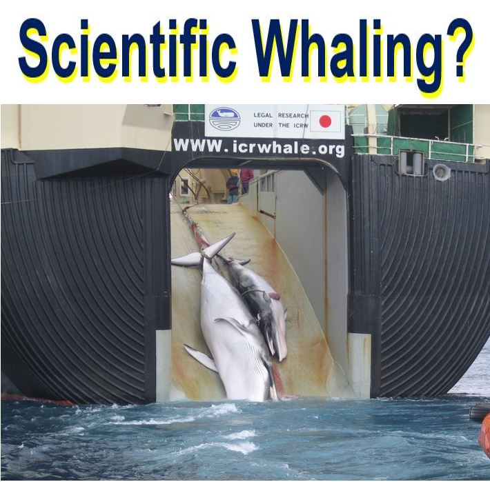 Scientific Whaline by Japan