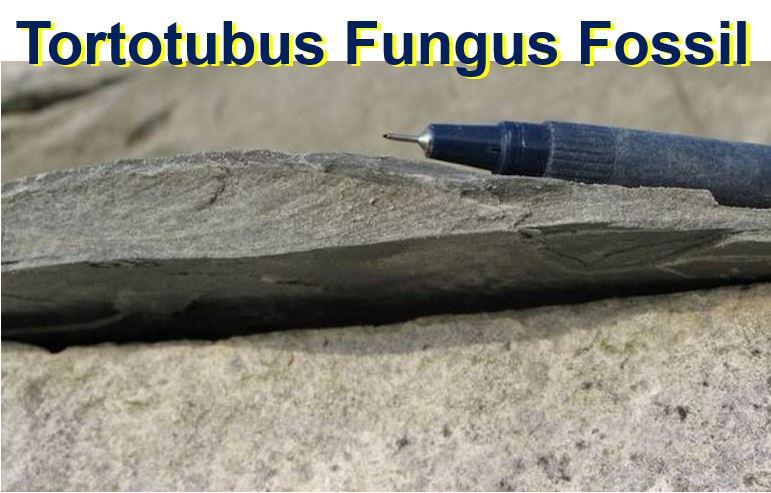 Tortotubus fungus fossil