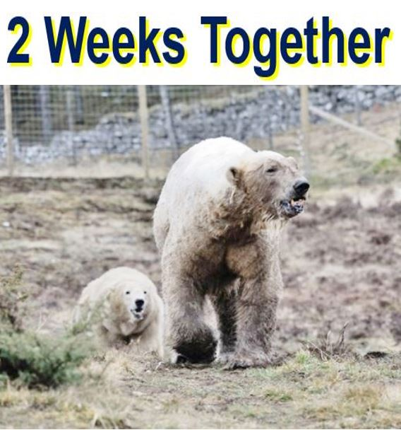 Two weeks together polar bears