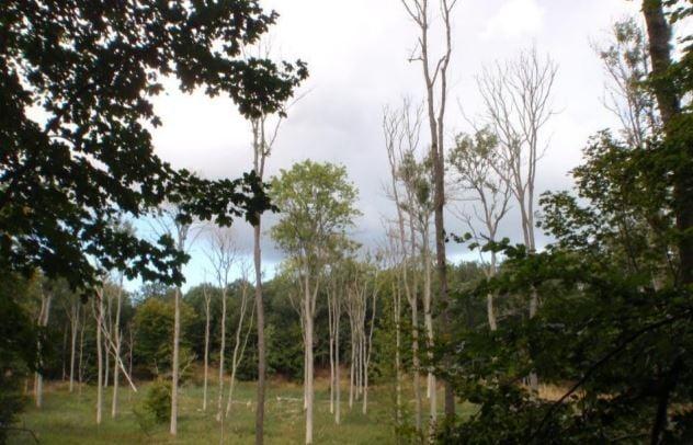 Ash dieback in Sweden
