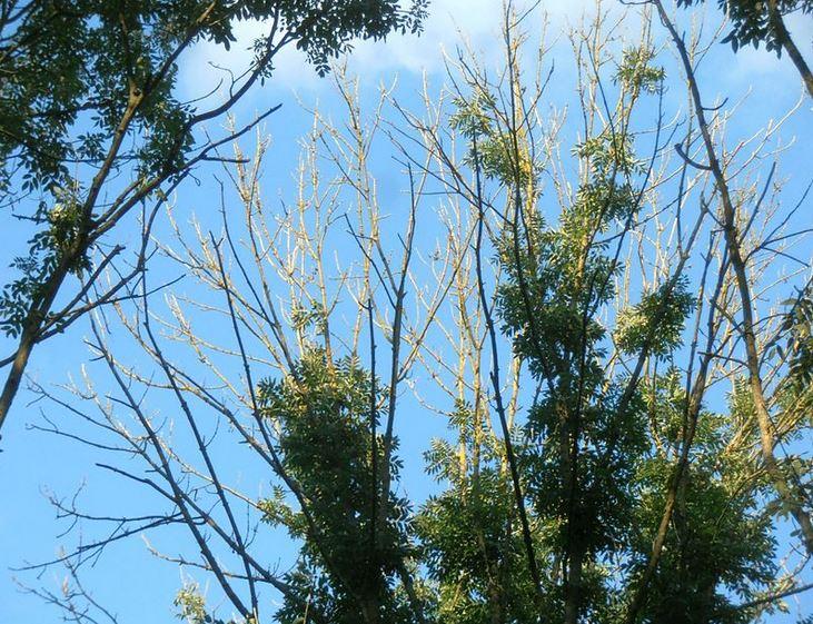 Crown dieback in mature ash trees