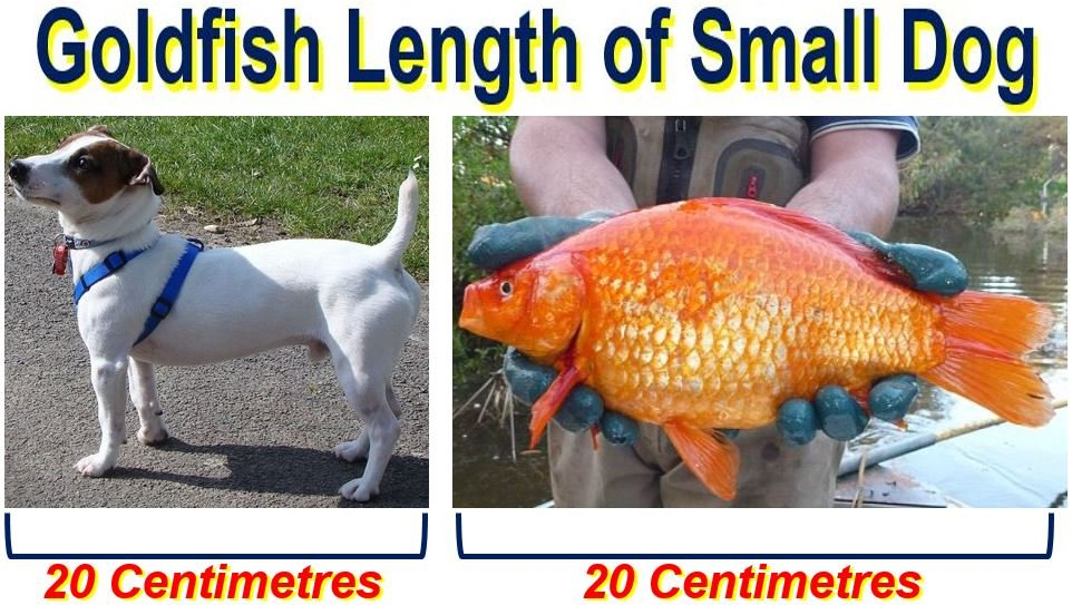 Goldfish length of small dog