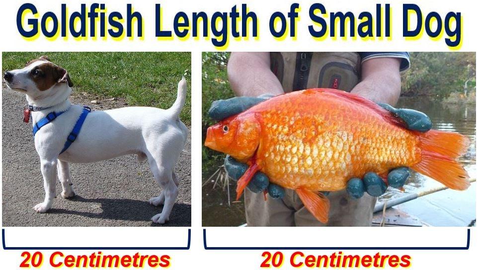 Goldfish length of small dog