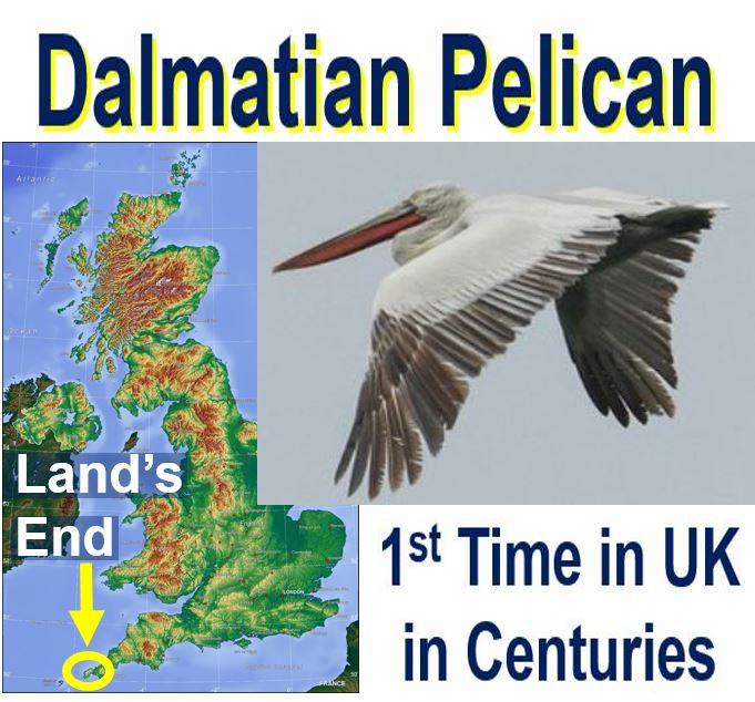 Giant Dalmatian Pelican in UK