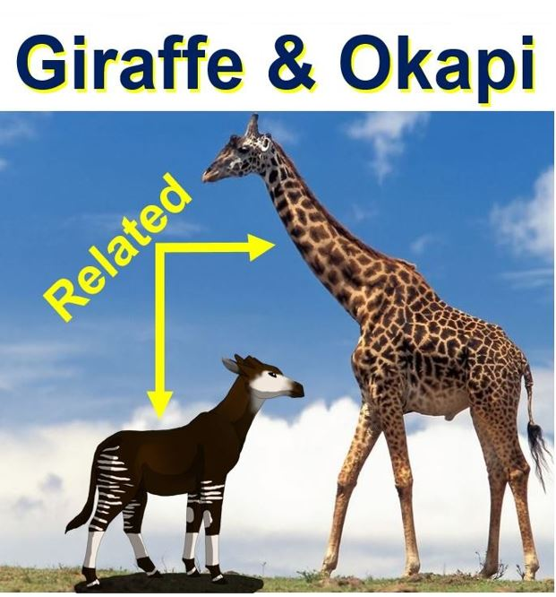 Giraffe and Okapi
