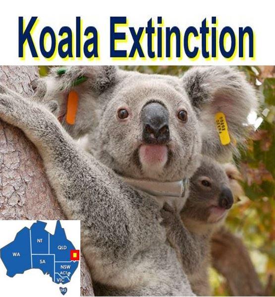 Koala extinction risk