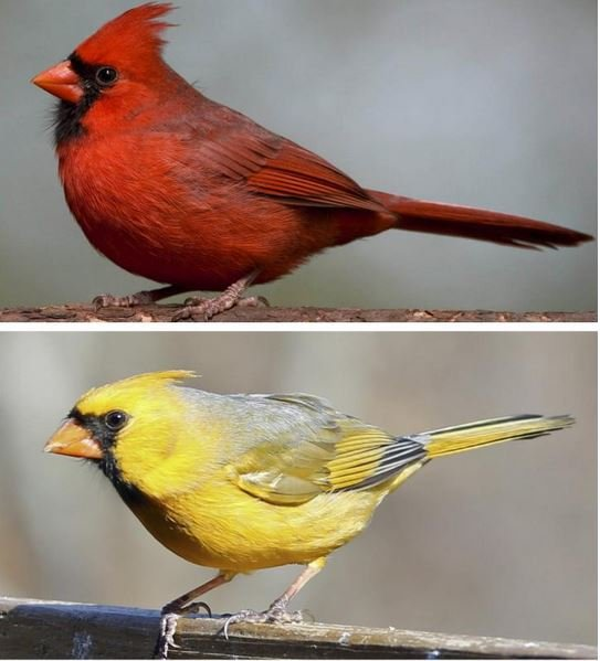 Red and yellow cardinals