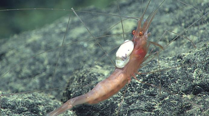 Shrimp with parasite