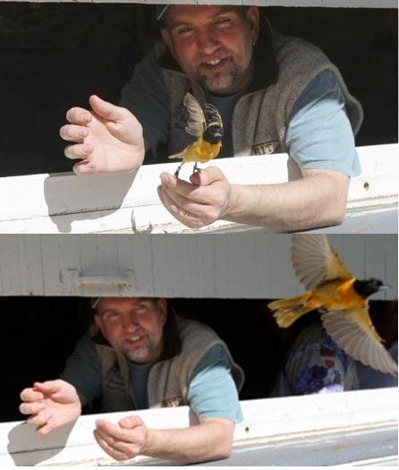Mark Deutschlander releasing an oriole fatter birds get more sex