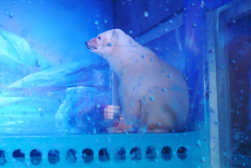 Saddest Polar Bear