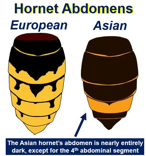 European and Asian hornet abdomens