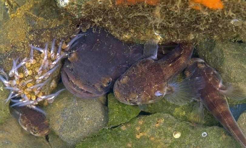 plainfin midshipman fish nest