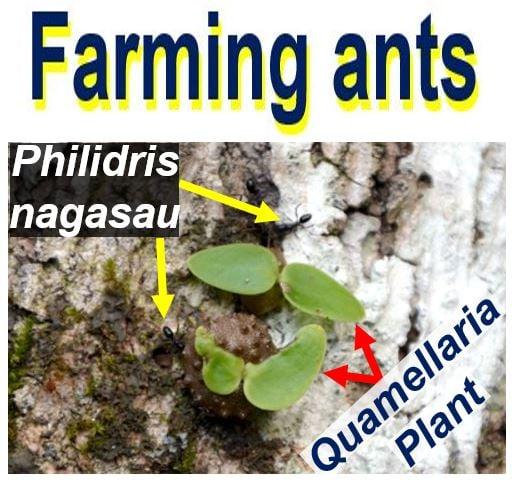 Farming Ants