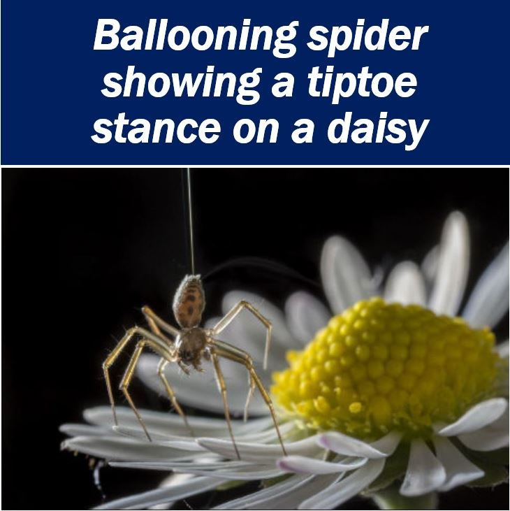 Ballooning spider showing a tiptoe stance on a daisy