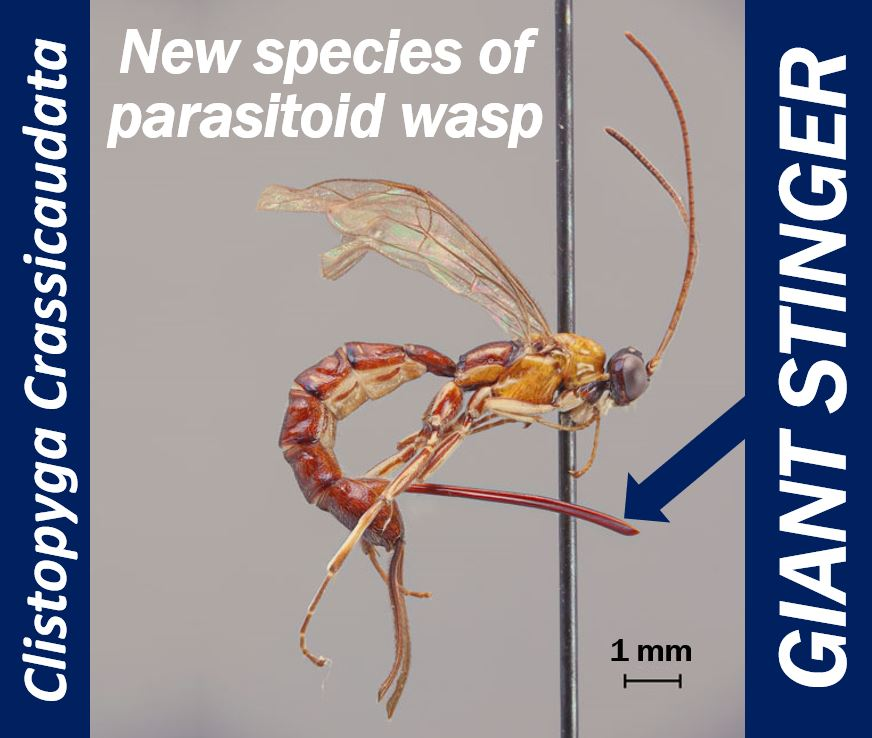 Parasitoid wasp with giant stinger