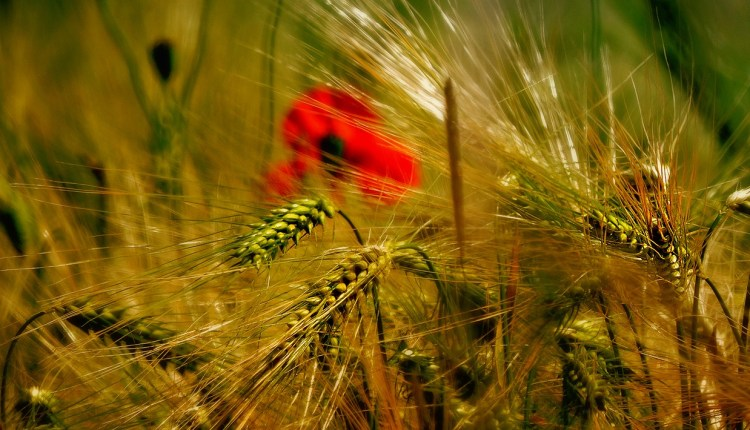 wheat field pixabay 3248056
