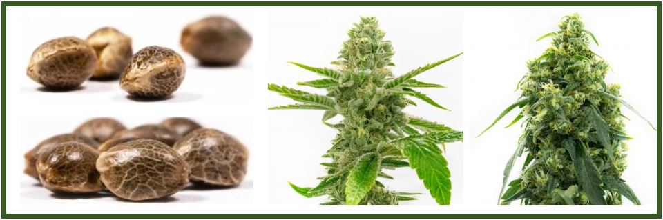 What Happens When You Smoke Cannabis Seeds?