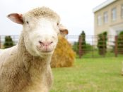 Sheep from the Big Knit campaign video