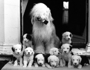 Dulux dog with puppies