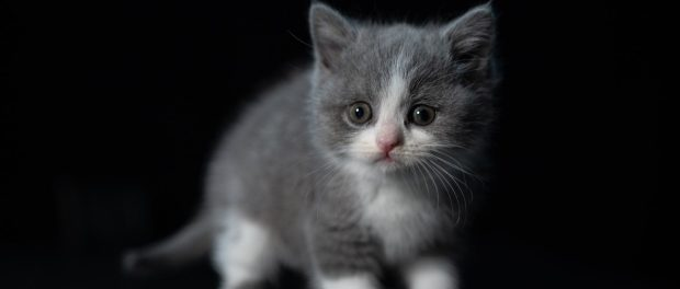A grey and white kitten.