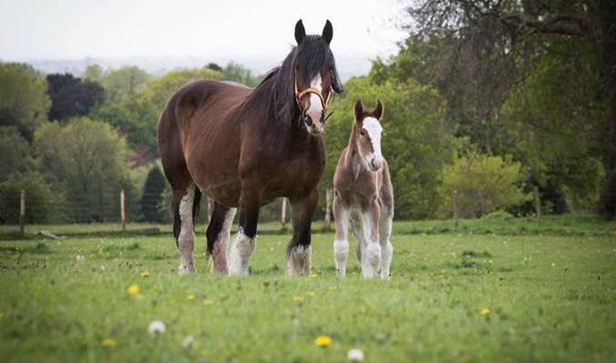 Robinsons Brewery owned Horsemans Princess Giselle with her foal Hillgate Henrietta-Anne