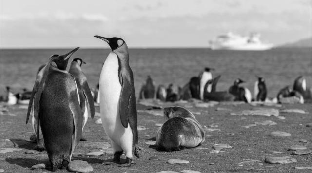 Pingvin : nagy vihart kavart