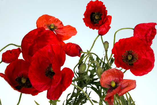 Free   Premium Stock Photos   Canva Flowers  Poppy  Poppy Flower  Red  Blossom  Bloom  Pink