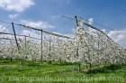 Kirschbäume der Familie Sehringer, Feldberg - sie stehen an einer Stelle, wo sie dem Wetter besondes ausgesetzt sind - bei Bedarf werden sie durch Folien geschützt