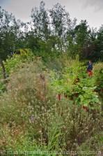 Zwischen den Beerensträuchern wachsen Jungfer im Grünen (Nigella)