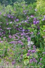 ...und hohes Eisenkraut (Verbena bonariensis)