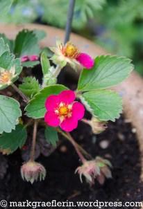 Erdbeere / strawberry