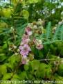 Brombeer-Blüten