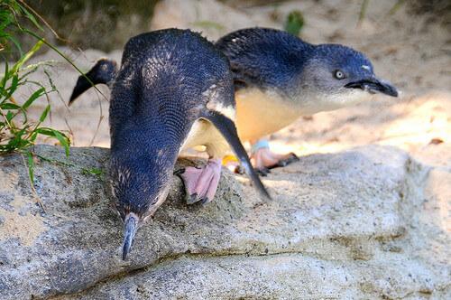Penguins at Taronga Zoo
