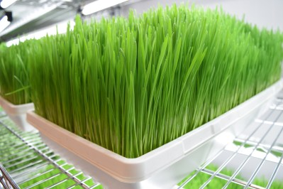 Wheatgrass-close-up