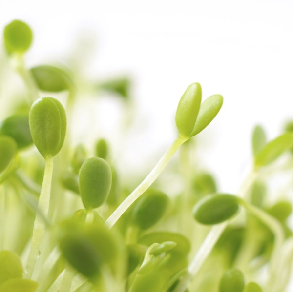 red-clover-sprouts