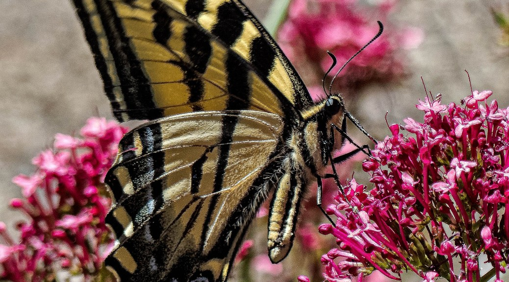 A tiger swallowtail butterfly